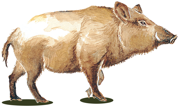 wild pig wine greta